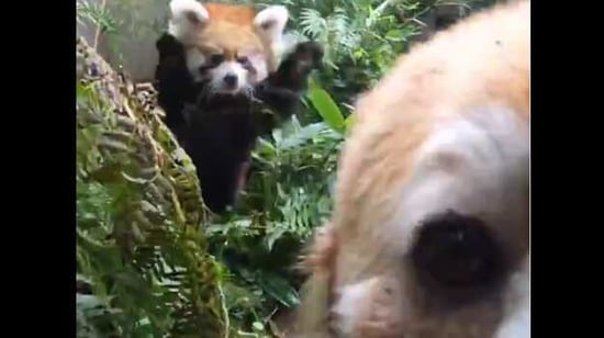 The image shows Pabu and Mei Mei,(Twitter/@oregonzoo)