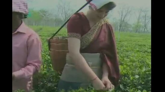 Priyanka Gandhi seen plucking tea leaves with the traditional basket.(ANI)