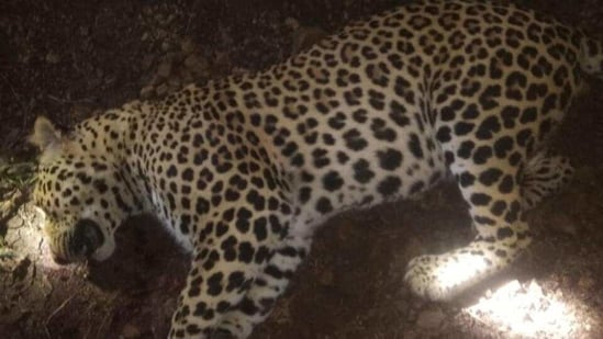 Three man-eater leopards have been killed this year in the Kumaon region.(Representative photo/HT)
