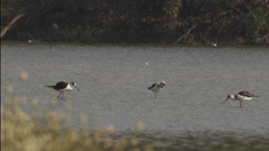 Migratory sandpiper birds at a pond near DPS School, Nerul, Seawoods. (HT PHOTO)