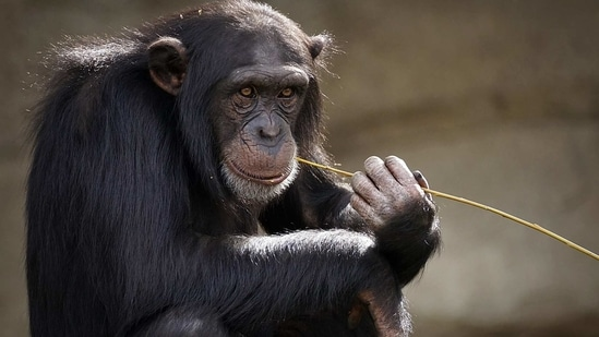 Due to these obstacles, some studies have shown clear separations between chimpanzee subspecies while others suggest a genetic gradient across the species as in humans.(Pixabay)