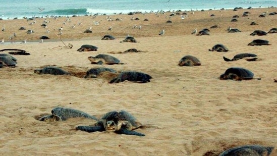 The Olive Ridley turtles turn up in millions for mass nesting along the Odisha coast every year. (File PTI Photo)