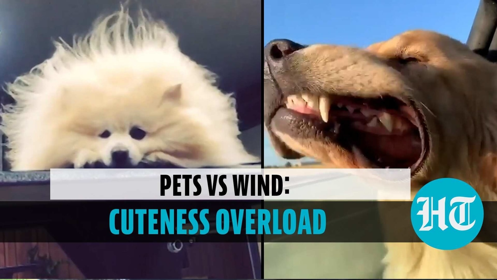 Pets vs Wind: Adorable video is too cute to handle