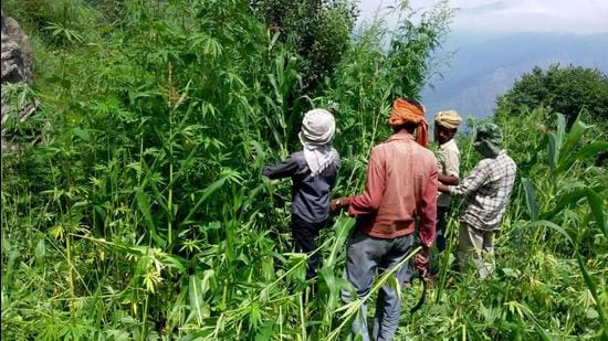Cannabis plants inKullu district. After two decades of debate, the hill state will draw up a policy for the cultivation of cannabis, which is otherwise exploited for making narcotics. (Aqil Khan /HT)