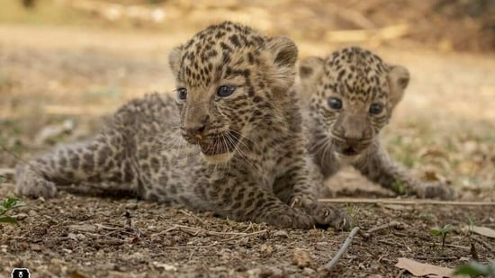 The image shows the leopard cubs.(Instagram/@wildlifesos)