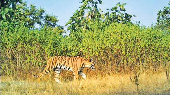 The project may submerge 6,107 hectares of the old and biodiverse forests of the Panna Tiger Reserve and Ken Ghariyal Sanctuary. This can impact water availability, rainfall patterns and destroy local ecosystems. Instead, the government could have pushed for low-cost, local interventions such as renovating and building water harvesting systems, desilting reservoirs and lakes and working towards a change in cropping patterns. (HTPhoto)