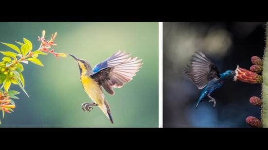 A male sunbird in winter plumage in Sector 18, Chandigarh, and (right) in breeding colours, Cactus Garden, Panchkula. (PHOTOS: ANUJ JAIN)