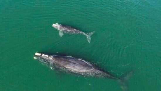 A North Atlantic right whale mother and calf in waters near Wassaw Island.(AP)