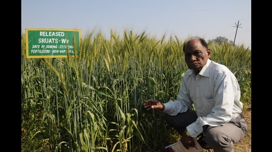 Prof Mahabal Ram with his wheat crops at SHUATS. (sourced)