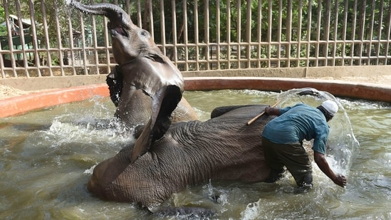 A zookeeper gives a bath to elephants inside their enclosure at Karachi Zoo during a heatwave, in Karachi.(AFP)