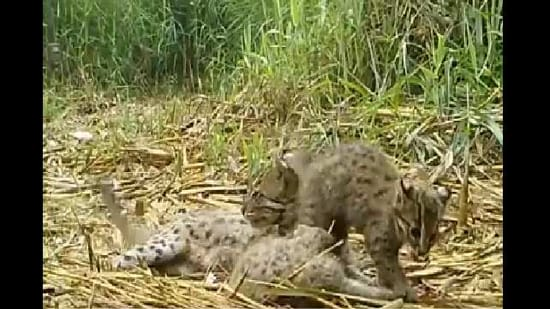 The image shows the family of fishing cats.(Twitter/@susantananda3)
