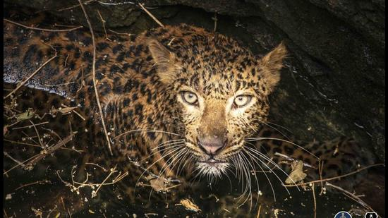 Leopard falls in 40-feet-deep well in Pune, finally pulled out by rescuers