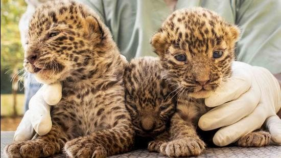 10 leopard cubs reunited with mothers in last 2 months in Pune