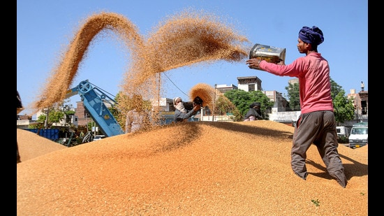 Workers drying wheat at grain market in Patiala on Friday. (PTI)
