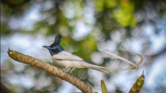 The male Indian paradise flycatcher at Cactus garden, Panchkula. (PHOTO: ARYAMAN JAIN)