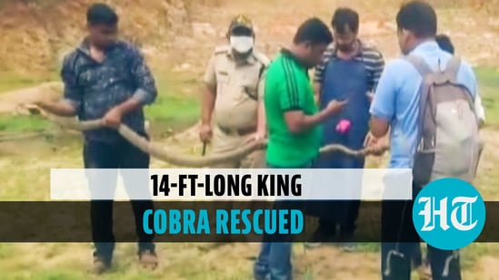 14-ft-long king cobra rescued from Odisha's village