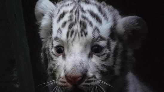 A white bengal tiger cub is seen inside a cage at the zoo in Havana, Cuba.(REUTERS)