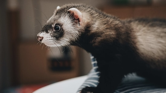 There was no evidence of SARS-CoV-2 transmission from humans to ferrets based on viral and antibody assays.(Unsplash)