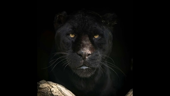 The image shows a jaguar named Athena.(Instagram/@thebigcatsanctuaryuk)