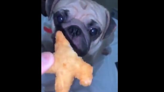 The image shows the pug looking at the snack.(Reddit/MeliaDanae)