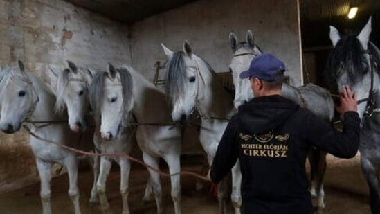 Horses wait before a training session at the home base of the Florian Richter circus in Szada, Hungary, April 20, 2021. From its off-season home in Szada, a small village just outside the capital of Budapest, the Florian Richter Circus is holding rehearsals in cautious anticipation of when performances may begin again. (AP)