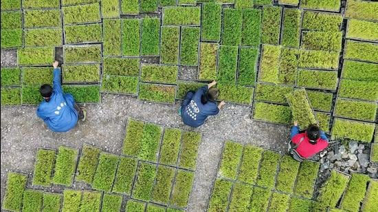A file photo shows farmers transferring rice seedling at a seedling base in Jianhe in China's southwestern Guizhou province. (AFP)