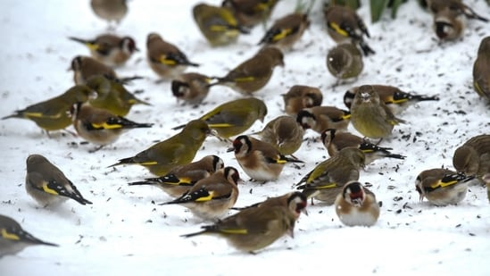 European goldfinches and finches feed on seeds in a snow-covered garden.(AFP / File photo)