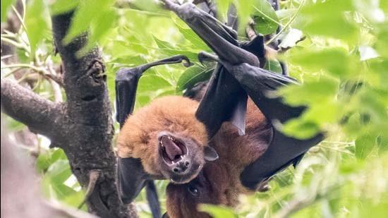 For 10 minutes, this bat couple was mating at Shanti Kunj park, Chandigarh. (PHOTO: ANUJ JAIN)