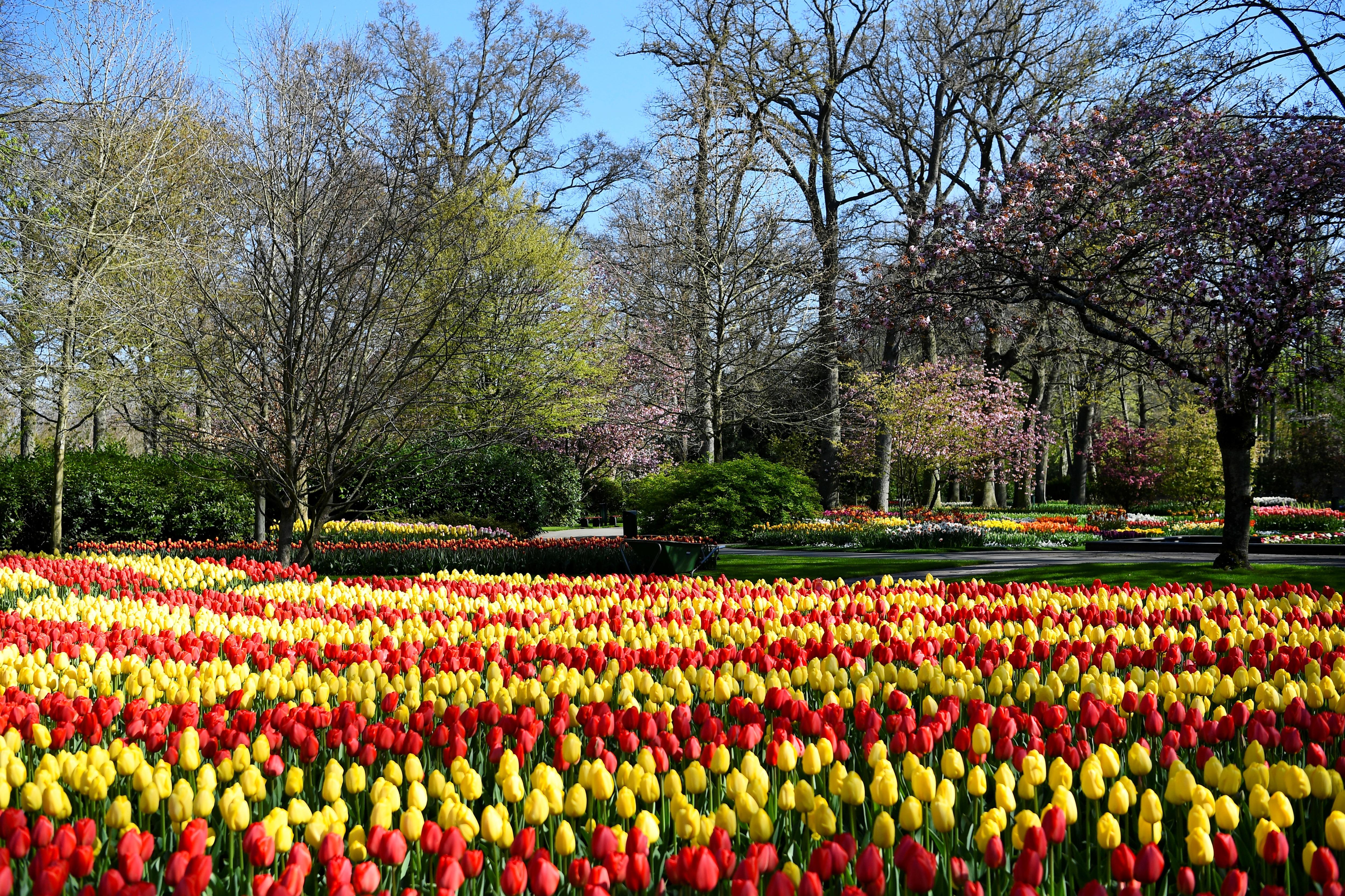 Tulpen worden gezien in de Keukenhof-tuin in Lisse, Nederland (Reuters)