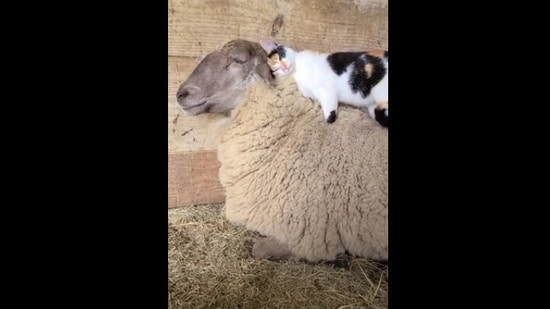 The image shows the cat and the sheep.(Reddit.)