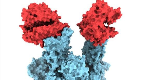 The 'N501Y' mutation in the Spike protein, in blue, is attached with two copies of the ACE2 receptor, in red. (supplied photo/ UBC)
