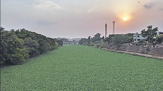 Hyacinth covers the Mula river at Aundh in Pune, indicating the heavy sewage load flowing into the river. (HT )