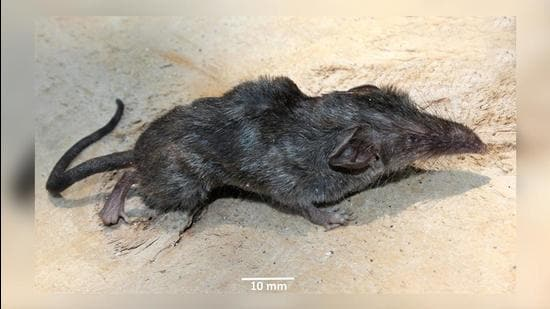 The new animal has been named Crocidura Norcondamica after the Narcondam Island where it was found. (Photo: ZSI)