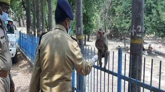 Chiranjeev Nath Sinha and his police team distributed bananas and chickpea to stray monkeys and cows in Lucknow on Tuesday.(ANI)