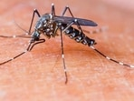 Four per cent of the mosquito population in Keys is of Aedes aegypti but is responsible for all the mosquito-borne diseases transmitted to humans like dengue, Zika, yellow fever.(File photo)