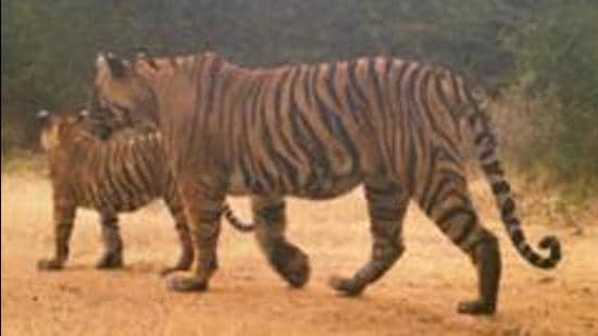 The place where the Tiger cub's body was found at Ranthambore Tiger Reserve, is believed to be the juncture of territories of tigress T-102 and T-124.(photo courtsey- Forest Department)