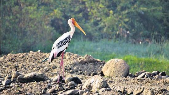 A Painted Stork on the banks of the Mula-Mutha river in Pune. This stork is a near-threatened species. (Jeevitnadi/HT)