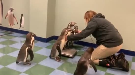 Penguins waiting for the turn to be weighed. (Saint Louis Zoo, Reddit)