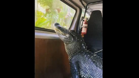 Sanchez the alligator during a ride across Australia Zoo. (Instagram.com/@robertirwinphotography)