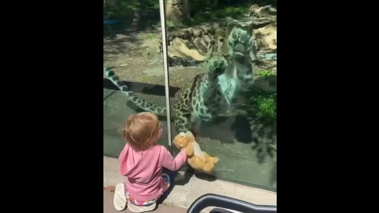 The leopard reacting to the little girl and her toy. (Instagram/@philadelphiazoo, Lara Fraser)