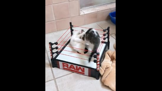 The image shows two kittens 'wrestling' in the arena.(Reddit/cactusjackalope)
