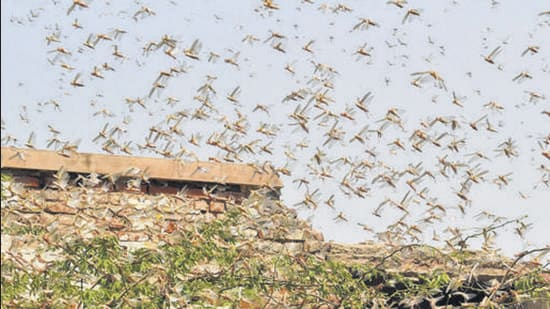 Large locusts swarms pose a major threat to food security and rural livelihoods. (PTI)