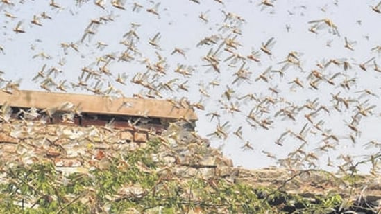 Following the advisory, Jaisalmer district collector Ashish Modi directed all officials engaged in the locust control operation to ensure highest priority to containment operations.(PTI file photo)