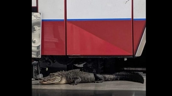 The alligator lurks under the fire truck (Source: Facebook/Bonita Springs Fire Control and Rescue District)