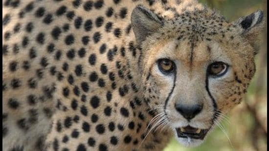 Cheetahs roamed India's grasslands till the 1950s when they were hunted to extinction from the country. India will now get 8 cheetahs donated by the Endangered Wildlife Trust of South Africa (AFP/File photo)