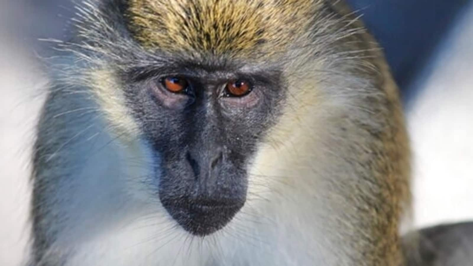 Monkey colony existent for 70 years discovered in Florida - Hindustan Times