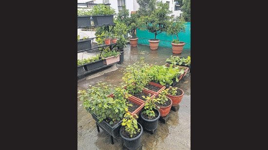 The terrace garden belonging to Ajay Agarwal in Pune provides a cooler roof and essential herbs. (HT PHOTO)