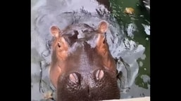 Fiona, the hippo, looking into the camera