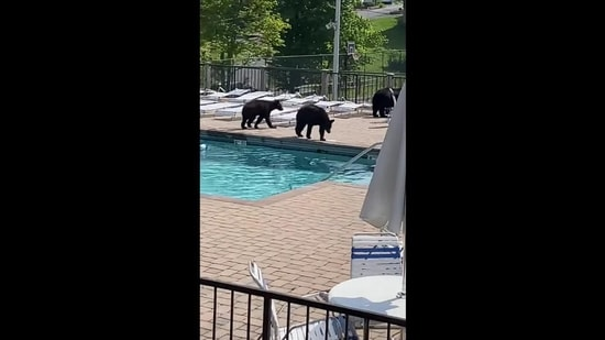 Bears who crashed the party stroll by the poll(YouTube/ Michelle Johnson)