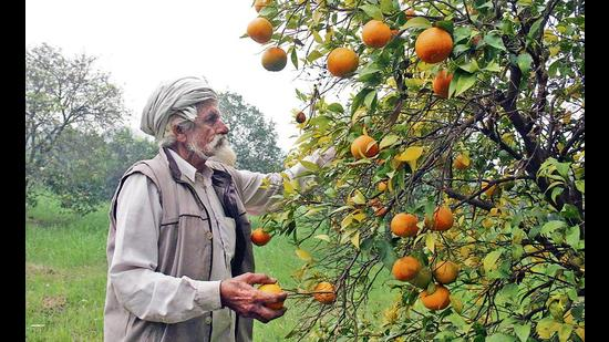 Punjab kinnow growers worried as production likely to dip by 60%